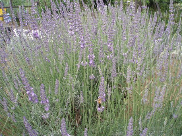 Lavenderkazueen