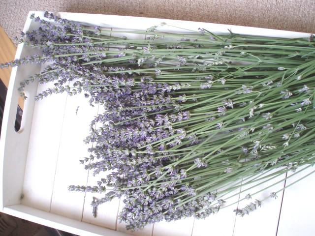Lavendersyukaku