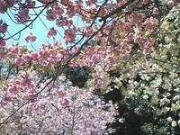 20090415yaezakura