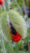 Ladybirdtsubomi