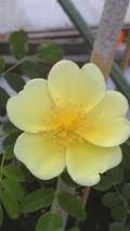 Rosaprimura2