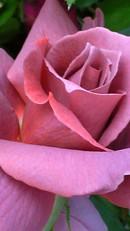 Roseblacktea_2