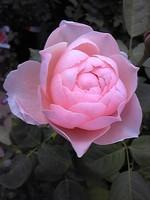 Rosegrace
