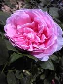 Roseprincessalexandraofkent_4