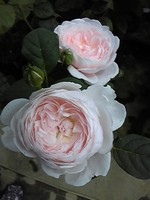 Rosequeenofsweden1