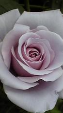 Rosesterlingsilverjpg