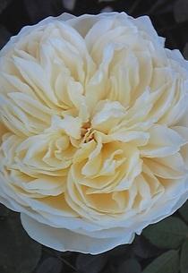 Rosecharlotteaustin