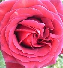 Rosechocolatesundae