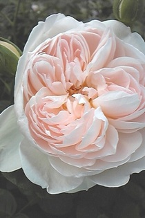 Rosegentlehermione