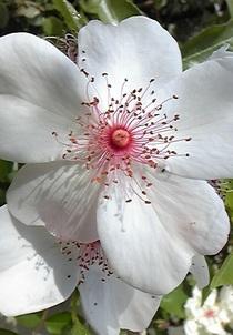 Rosepinksakurina