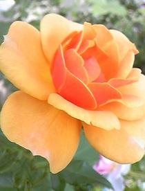 Rosesilenceisgolden