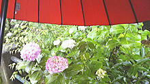 Sybilla_umbrella5
