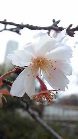 20131218jugatsuzakura_2