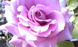 20140507aobanoen_blueperfum