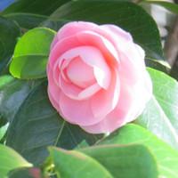 Ceder_rose20141217_