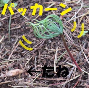 20150410sugi_pakkan6866