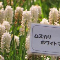 20150426kaihinkoen_muscari06_7167