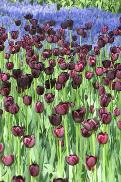 20150426kaihinkoen_tulip02_7156