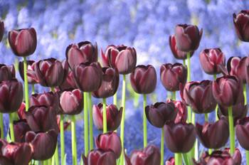 20150426kaihinkoen_tulip03_7152