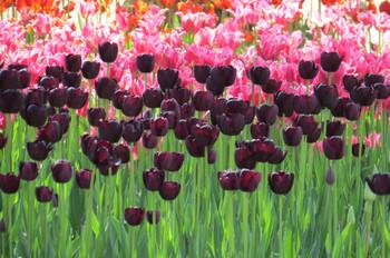20150426kaihinkoen_tulip04_7147