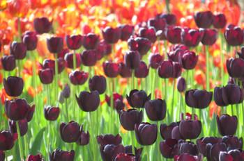 20150426kaihinkoen_tulip05_7149