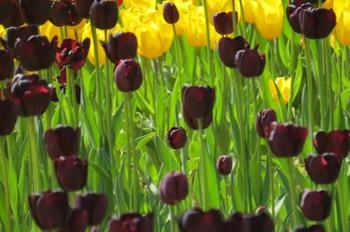 20150426kaihinkoen_tulip06_7150