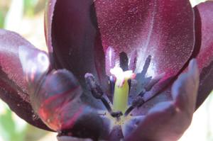 20150426kaihinkoen_tulip08cafe_7160