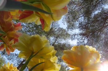 20150426kaihinkoen_tulip23_7136