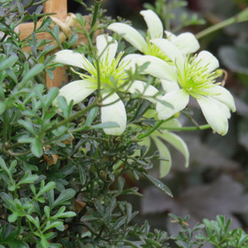 Aoba02clematis_pixie
