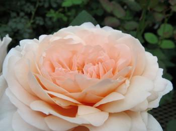 Aoba03ambridge_rose