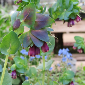 Aoba05cerinthe_major3