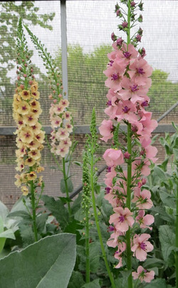 Aoba09verbascum_southern_charm