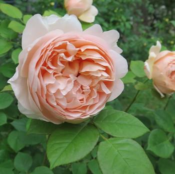 Imuzio11_1ambridge_roseshort