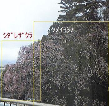 20140404sakura56