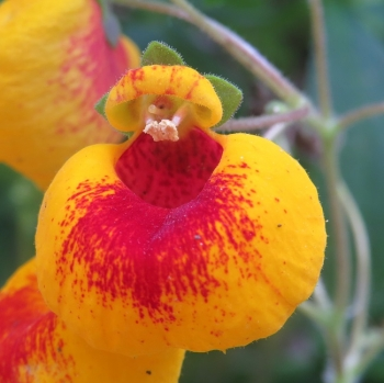 4_20200505calceolaria1short